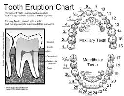 Printable Tooth Numbering Chart Tooth Numbering Chart For