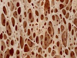 bone tissue bone tissue of a hen magnified x25 photographic print by micro