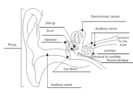 diagram of the ears schematics wiring diagram Diagram Of Human Ear For Class 8 how hearing works ag bell listening and spoken language diagram of the ear nordfluxfo diagram of human ear for class 8