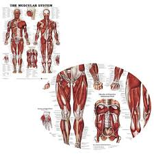 Anatomy Chart Muscular System Details About Muscular System Wall Chart Lifelike Silk Cloth Anatomical Poster Muscle Learning