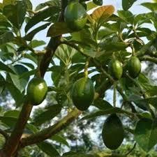 Avocado Tree Avocado Tree Zone 9b Avocado Tree Zone 4