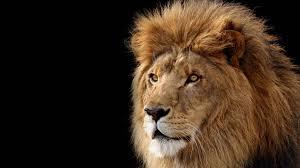 full hd lion wallpaper