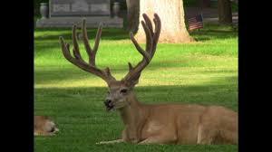 Whitetail Antler Growth Chart Mule Deer Antler Growth