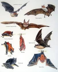 Bat Species Chart Bats Illustrated Bat Flying Just Bats Baby Bats