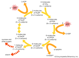 Co2 To O2 Conversion Chart Photosynthesis The Process Of Photosynthesis Carbon