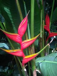 a heliconia in georgia o keeffe visions of hawai i at