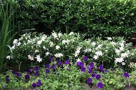 frost proof gardenia home decor ideas gardenias wisteria and landscape designs
