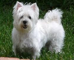 west highland white terrier maltese mix. Plain Maltese I Love The Westies Inside West Highland White Terrier Maltese Mix S