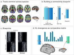Whole Brain Comparative Anatomy Using Connectivity Blueprints Elife