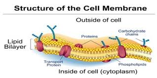 function and structure of cell membrane