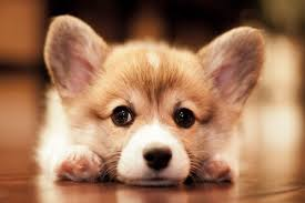 cutest corgi puppy. Brilliant Puppy Adorable Cardigan Welsh Corgi Puppy In Cutest