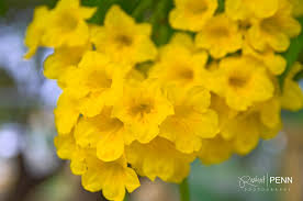 goldenrod wikipedia mothers day wall flower mellow yellow