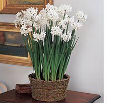 White Paper Flower Bulbs 77 Best Accessorizing Paper Whites Images Garden Bulb
