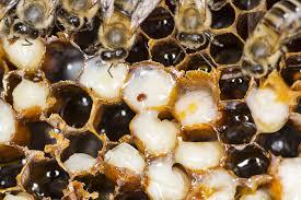 Study Beekeepers Urged To Rethink Varroa Mite Spread Virus