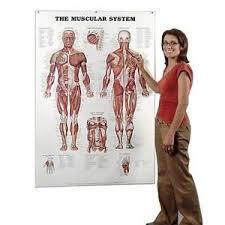Anatomy Chart Muscular System