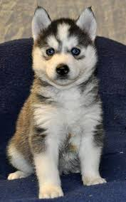 baby siberian husky with blue eyes. Plain Husky Grey Siberian Husky With Blue Eyes Rwanda Puppies Cute  Are Given Throughout Baby S