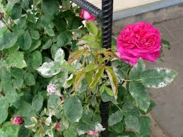 Preventing Rose Diseases | HGTV