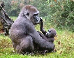 Resultado de imagen de gorila