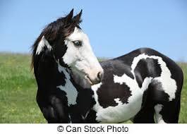 wild paint horses rearing.  Horses Paint Horse Stallion  Portrait Of In Inside Wild Horses Rearing C