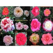 Roses Plants Red Rose  Fragrant Rose  Scented Rose  Flowering Fragrant Rose Plants