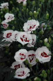 coconut surprise pinks dianthus wp05yves at gertens