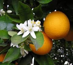 lemon tree x:  orangebloss wb