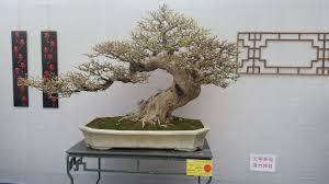 office bonsai. BONSAI CLUBS INTERNATIONAL 2015. HARBEST Head Office Bonsai