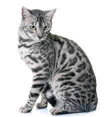 white bengal cat.  Cat Silver Bengal Cat Names To White Bengal Cat T
