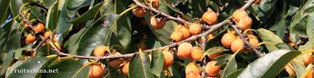 Sorbus Aucuparia  RowanMountain Ash  Sorbus Acuaparia Lotus Fruit Tree