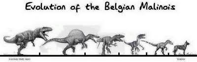 Výsledek obrázku pro funny belgian malinois