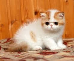 exotic shorthair orange and white. Wonderful Exotic Exotic Shorthair Does Not Like To Be Left Alone For Long Periods Of  Time Which Is Why Many Owners Leave The Radio Or Television On If They Are Going To Orange And White W