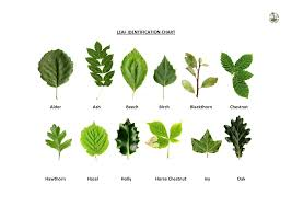 Oak Tree Comparison Chart Oak Leaf Identification Chart Oak Leaf Identification