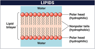 structure clification of lipids