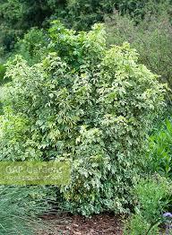 Gap Gardens Eleutherococcus Sieboldianus Variegatus
