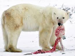Polar bears are being forced into cannibalism by climate change, scientist  warns - Mirror Online