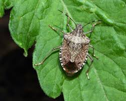 stink bug control how to get rid of