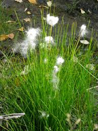 Eriophorum scheuchzeri (White cottongrass) | NPIN