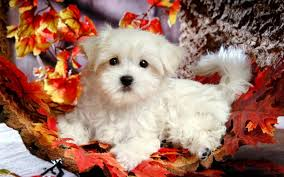 Puppy Wallpaper For Bedroom Images For Gt Cute Puppy Christmas Wallpapers Puppy Screensavers