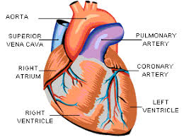 Image result for heart anatomy valves
