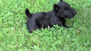 scottish terrier puppies. Interesting Terrier Inside Scottish Terrier Puppies YouTube