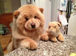 the chow chow is a large fluffy dog breed the breed was originally bred in northern china history says that they were mainly kept in the buddhist temples