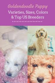 Standard Goldendoodle Size Chart Goldendoodle Puppies Varieties Sizes Colors Oh My