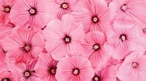 Free download Pink Flowers Desktop ...