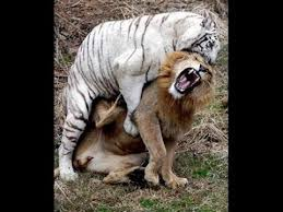 real jungle animals. Plain Jungle Animals Attack Wildanimals And Real Jungle Animals I