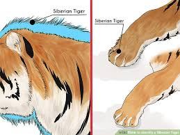 siberian tiger vs bengal tiger. Fine Siberian Image Titled Identify A Siberian Tiger Step 1 And Vs Bengal