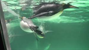 baby emperor penguins swimming.  Baby Inside Baby Emperor Penguins Swimming YouTube