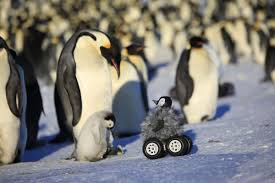cute penguins.  Penguins Brooding Emperor Penguin With Its Chick Approached By A Rover Camouflaged  Fake Chick Credit Le Maho Et Al Throughout Cute Penguins