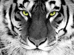 White Tiger Wallpapers - Top Free White ...