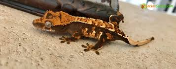 crested gecko for