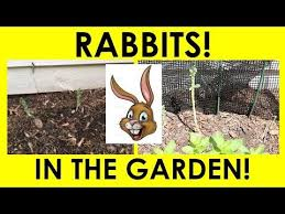 how do i keep rabbits out of my garden. Interesting Rabbits HOW I KEEP RABBITS OUT OF MY GARDEN On How Do Keep Rabbits Out Of My Garden D